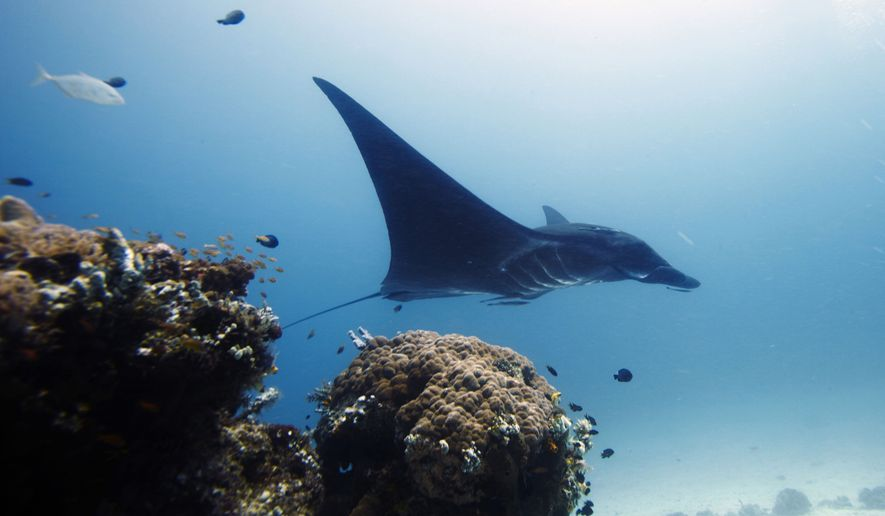 In this Oct. 18, 2011, photo, manta ray swims in the water, off Raja Ampat islands, Indonesia. (AP Photo/Herman Harsoyo)