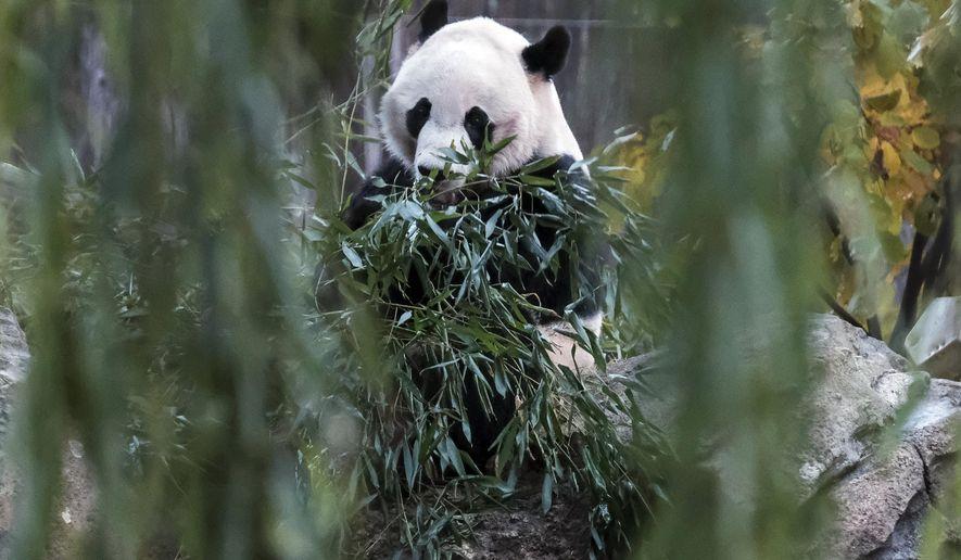 Giant panda Bei Bei eats bamboo at the David M. Rubenstein Family Giant Panda Habitat of the Smithsonian National Zoological Park before heading back to China, Tuesday, Nov 19, 2019, in Washington. (AP Photo/Michael A. McCoy)