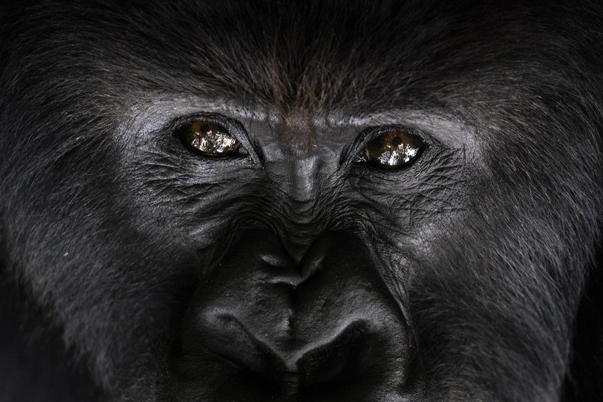 In this Sept. 2, 2019 photo, a silverback mountain gorilla named Segasira looks up as he lies under a tree in the Volcanoes National Park, Rwanda. The late American primatologist Dian Fossey, who began the world's longest-running gorilla study here in 1967, would likely be surprised any mountain gorillas are left to study. Alarmed by rising rates of poaching and deforestation in central Africa, she predicted the species could go extinct by 2000. (AP Photo/Felipe Dana)