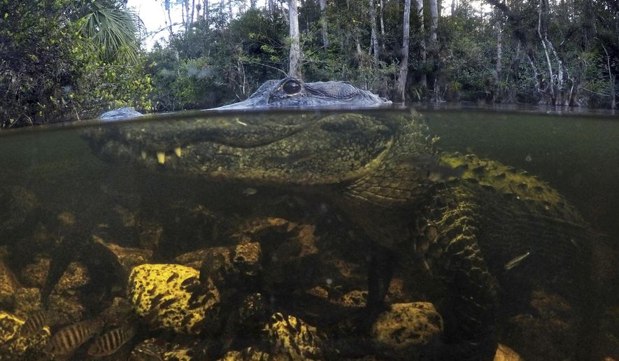 In this Wednesday, Oct. 30, 2019 photo, an alligator prowls the waters in the Big Cypress National Preserve in Florida. Formed roughly 5,000 years ago _ ironically enough, during a time of sea-level rise _ the glades once comprised an area twice the size of New Jersey. (AP Photo/Robert F. Bukaty)