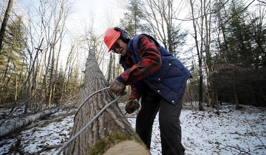 ADVANCE FOR PUBLICATION ON SATURDAY, DEC. 7, AND THEREAFTER - In this Friday, Nov. 15, 2019, photo, Gary Edinger, of Kennan, uses a steel cable to tie a tree he cut on land near Ogema, Wis. (T'xer Zhon Kha/The Wausau Daily Herald via AP)