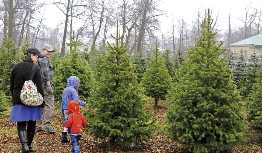 In this photo taken Friday, Nov. 29, 2019, a family searches for a tree in the only Christmas tree farm in Kodiak, Alaska. At first glance, Kodiak may seem like the perfect place to find a Christmas tree. But Kodiak's native spruce trees are not the ideal Christmas material.  In 2006,  Todd Dorman converted a Bells Flats property previously used to raise pigs into a tree farm. He planted more than 30 varieties of trees, unsure of which would be successful in the island's wet climate. (Iris Samuels/Kodiak Daily Mirror via AP)
