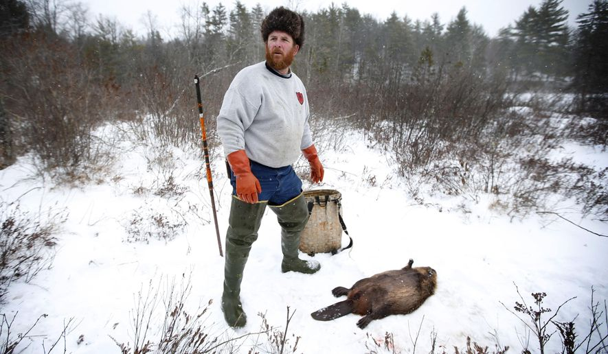 In this Thursday, Jan. 15, 2015 photo, Brian Cogill prepares to pack up a beaver he trapped in Limington, Maine. Trapping wild animals for fur is a way of life that goes back thousands of years in Maine, and the state is considering new ways to manage the declining business. (AP Photo/Robert F. Bukaty)