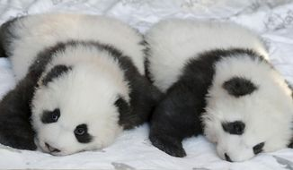 Panda cub 'Meng Yuan' looks to the cameras as its brother 'Meng Xiang' is almost sleeping during a name-giving event for the young panda twins at the Berlin Zoo in Berlin, Germany, Monday, Dec. 9, 2019. China's permanent loan Pandas Meng Meng and Jiao Qing are the parents of the two cubs that were born on Aug. 31, 2019 at the Zoo in Berlin. (AP Photo/Michael Sohn)