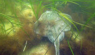 In this undated photo provided by the Massachusetts Division of Marine Fisheries, a winter skate rests among seagrass at a monitoring site in the sound off shore from Salem, Mass. Seagrass meadows, found in coastlines all coastal areas around the world except Antarctica's shores, are among the most poorly protected but widespread coastal habitats in the world. Studies have found more than 70 species of seagrass that can reduce erosion and improve water quality, while providing food and shelter for sea creatures. (Tay Evans/Massachusetts Division of Marine Fisheries via AP)