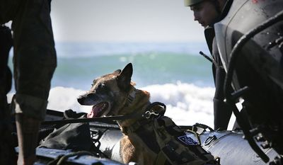 A Multi-Purpose Canine with U.S. Marine Corps Forces Special Operations Command (MARSOC), prepares for Zodiac boat training inserts on Camp Pendleton, Calif., Feb. 9, 2016. MARSOC specializes in direct action, special reconnaissance and foreign internal defense and has also been directed to conduct counter-terrorism, and information operations. (U.S. Marine Corps photo by Sgt. Maricela M. Bryant, MCIWEST-MCB CamPen Combat Camera/Released)