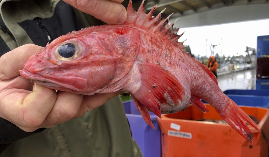 In this Dec. 11, 2019 photo, Kevin Dunn, who fishes off the coasts of Oregon and Washington, holds an aurora rockfish at a processing facility in Warrenton, Oregon. A rare environmental success story is unfolding in waters off the U.S. West Coast as regulators in January 2020 are scheduled to reopen a large area off the coasts of Oregon and California to groundfish bottom trawling fishing less than two decades after authorities closed huge stretches of the Pacific Ocean due to the species' depletion. (AP Photo/Gillian Flaccus)