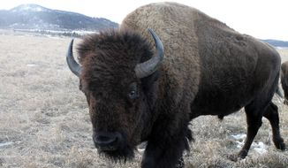 In this Saturday, Dec. 28, 2019 photo, an American bison roams at the Frawley Ranch near Spearfish, S.D. The herd of bison add an air of authenticity to the property of the historic ranch. (Alex Portal/Black Hills Pioneer via AP)