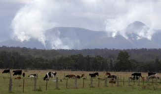 Cattle graze in a field as smoke rises from burning fires on mountains near Moruya, Australia, Thursday, Jan. 9, 2020. The wildfires have destroyed 2,000 homes and continue to burn, threatening to flare up again as temperatures rise. (AP Photo/Rick Rycroft)