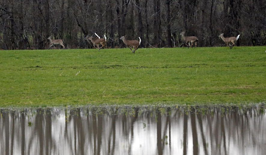In this March 1, 2019 file photo, deer run alongside rising water from the Yazoo River in Warren County, Miss.  (AP Photo/Rogelio V. Solis, File)  **FILE**