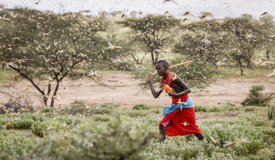 In this photo taken Thursday, Jan. 16, 2020, a Samburu boy uses a wooden stick to try to swat a swarm of desert locusts filling the air, as he herds his camel near the village of Sissia, in Samburu county, Kenya. The most serious outbreak of desert locusts in 25 years is spreading across East Africa and posing an unprecedented threat to food security in some of the world's most vulnerable countries, authorities say, with unusual climate conditions partly to blame. (AP Photo/Patrick Ngugi)