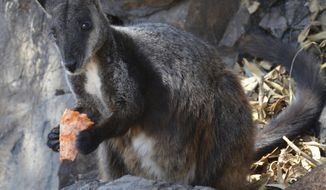 This December 2019 photo provided by Guy Ballard shows a male brush-tailed rock wallaby eating supplementary food researchers provided in the Oxley Wild Rivers National Park in New South Wales, Australia. Before this fire season, scientists estimated there were as few as 15,000 left in the wild. Now recent fires in a region already stricken by drought have burned through some of their last habitat, and the species is in jeopardy of disappearing, Ballard said. (Guy Ballard/NSW DPI - UNE via AP)