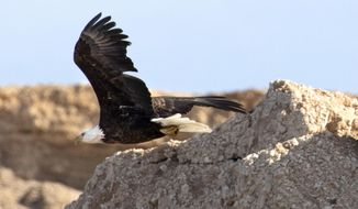 In a  Wednesday, Jan. 15, 2020 photo, an adult bald eagle flies along the shore of Lake Mead during the annual eagle survey conducted by the National Park Service.  (Ellen Schmidt/Las Vegas Review-Journal via AP)(Ellen Schmidt/Las Vegas Review-Journal via AP)