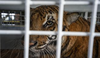 One of 17 rescued tigers and lions from Guatemala circuses arrives at the Animal Defender International Wildlife Sanctuary in Winburg, South Africa, Tuesday Jan. 21, 2020. (AP Photo/Jerome Delay)