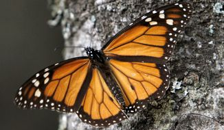 FILE - In this Dec. 9, 2011 file photo a Monarch butterfly sits on a tree trunk at the Sierra Chincua Sanctuary in the mountains of Mexico's Michoacan state. On Monday, Jan. 20, 2020, prosecutors in western Mexico have called in 53 local police officers for questioning in the Jan. 14 disappearance of a long-time promoter and protector of the wintering grounds of the monarch butterfly. (AP Photo/Marco Ugarte, File)
