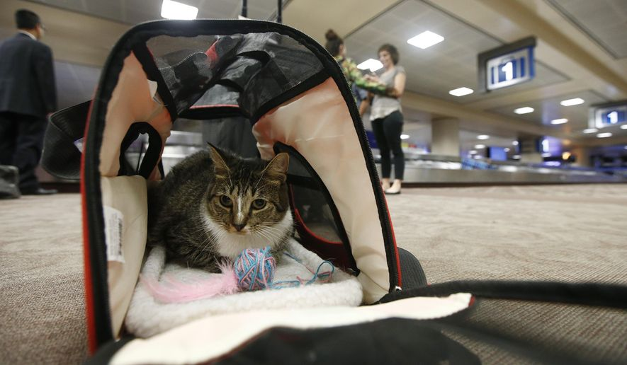 In this Sept. 20, 2017, file photo, Oscar the cat sits in his carry on travel bag after arriving at Phoenix Sky Harbor International Airport in Phoenix. Airlines might soon be able to turn away cats, rabbits and all animals other than dogs that passengers try to bring with them in the cabin. The U.S. Transportation Department on Wednesday, Jan. 22, 2020, announced plans to tighten rules around service animals. The biggest change would be that only dogs could qualify. (AP Photo/Ross D. Franklin, File)