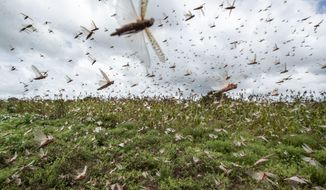 Swarms of desert locusts fly up into the air from crops in Katitika village, Kitui county, Kenya Friday, Jan. 24, 2020. Desert locusts have swarmed into Kenya by the hundreds of millions from Somalia and Ethiopia, countries that haven't seen such numbers in a quarter-century, destroying farmland and threatening an already vulnerable region. (AP Photo/Ben Curtis)