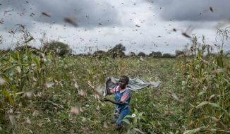 A farmer's daughter waves her shawl in the air to try to chase away swarms of desert locusts from her crops, in Katitika village, Kitui county, Kenya Friday, Jan. 24, 2020. Desert locusts have swarmed into Kenya by the hundreds of millions from Somalia and Ethiopia, countries that haven't seen such numbers in a quarter-century, destroying farmland and threatening an already vulnerable region. (AP Photo/Ben Curtis)