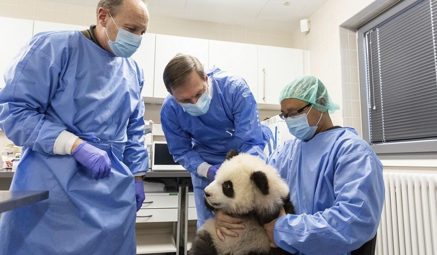 Picture made available on Monday, Jan.27, 2020 shows Vetrinarians Andreas Ochs, left and Andrea Knieriem and zookeeper Yang Cheng checking one of the panda baby twins in the zoo in Berlin, on Jan.24, 2020. (AP Photo/Zoo Berlin)