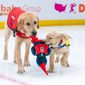 The Washington Capitals took in a second future service dog, Scout (right), three months after welcoming Captain to their team. Monumental Sports and Entertainment staff will raise and help train and socialize Scout and Captain to become service dogs for veterans and first responders with disabilities through the nonprofit America's VetDogs. (Photo by Jess Rapfogel, courtesy of Washington Capitals)