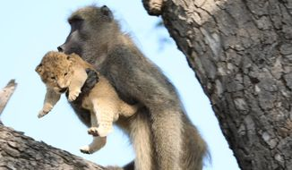 In this photo taken Saturday, Feb. 1, 2020, a male baboon carries a lion cub in a tree in the Kruger National Park, South Africa. The baboon took the little cub into the tree and preened it as if it were his own, said safari ranger Kurt Schultz who said in 20-years he had never seen such behaviour. The fate of the lion cub is unknown. (Photo Kurt Schultz via AP)