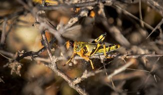 Desert locusts are decimating farmers' crops in mere days and threatening the food security of millions in countries from India eastward to Kenya and Ethiopia. It's Kenya's worst outbreak in 70 years. (ASSOCIATED PRESS)