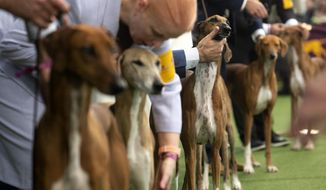 Azawakhs compete at the Westminster Kennel Club Dog Show on Sunday, Feb. 9, 2020, in New York. The Azawakh is a new breed to the Westminster show this year. (AP Photo/Wong Maye-E)