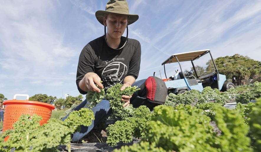 In this, Wednesday, Feb. 5, 2020, Kourtney Lesperance, 23, of Miami, who just finished her undergraduate studies at University of Colorado Boulder, harvests kale on an organic farm in Opa-locka, Fla.  (AP Photo/Wilfredo Lee)