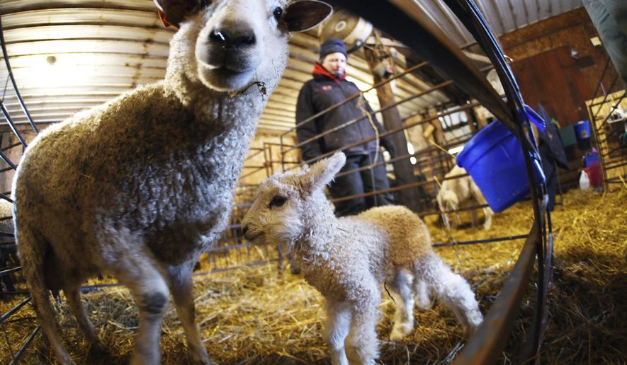 In this Jan. 28, 2020 photo, Joana Friesz walks by a ewe and lamb inside one of the barns used by Friesz to protect the newborn from the harsh winter elements north of New Salem, N.D. (Mike McCleary/The Bismarck Tribune via AP)