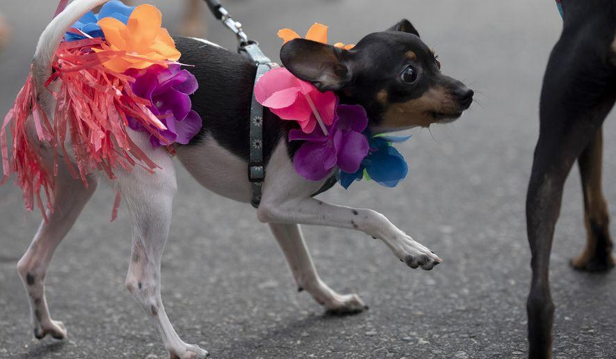 "A dog dressed for carnival participates in the ""Blocao"" dog carnival parade along Copacabana beach in Rio de Janeiro, Brazil, Sunday, Feb. 16, 2020. (AP Photo/Silvia Izquierdo)"