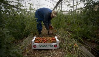 Palestinian farmer harvests tomatoes in Jordan Valley in the West Bank, Monday, Feb. 10, 2020. The Israeli military blocked Palestinian agricultural exports on Sunday in the latest escalation of a monthslong trade war that comes amid fears of renewed violence as well. Following Defense Minister Naftali Bennett's instruction, the military said it would not allow the Palestinians to transfer their products through their land crossing to Jordan, the West Bank's only direct export route to the outside world. (AP Photo/Majdi Mohammed)