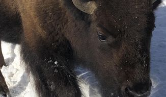 In this Monday, Feb. 17, 2020 photo, a bison walks in Yellowstone National Park's Lamar Valley near Mammoth Hot Springs, Wyo. State and federal officials are hoping to reduce Yellowstone's bison herds by up to 900 animals this winter. (AP Photo/Matthew Brown)