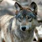 In this July 16, 2004, file photo, a gray wolf is seen at the Wildlife Science Center in Forest Lake, Minn. (AP Photo/Dawn Villella, File)
