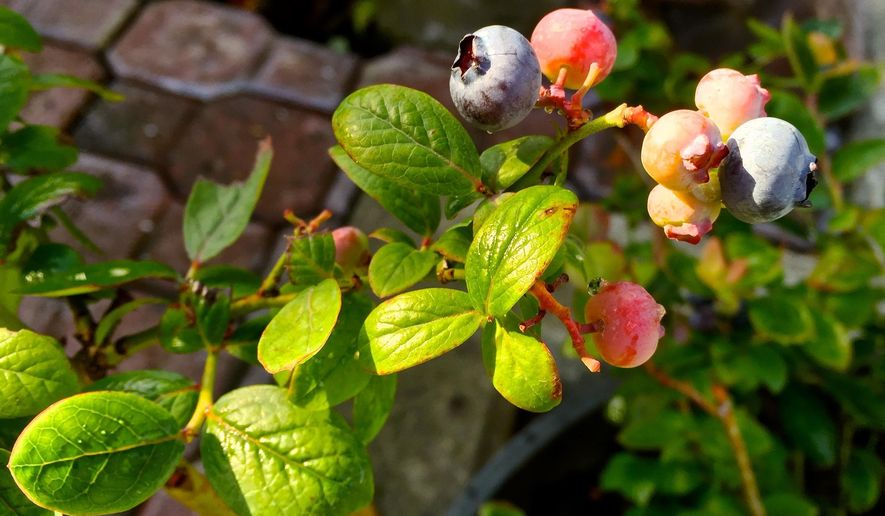 This July 25, 2016 photo of blueberries growing in a container on a property near Langley, Wash., illustrates that gardeners operate on a much smaller scale than farmers yet can make some major sustainability impacts by growing their own food and planting things that don't need as much fertilizer or pesticides, minimizing risks to the environment. (Dean Fosdick via AP)