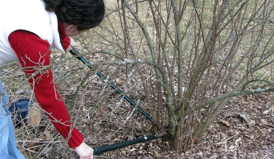 This undated photo shows clove currant, a fruiting shrub, being pruned in New Paltz, N.Y. Lopping some of the oldest stems to ground level each winter makes room for more fruitful young stems. (Lee Reich via AP)