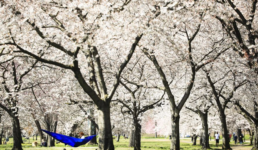 A woman relaxes in a hammock hanging amid cherry trees in full bloom along Kelly Drive in Philadelphia, Thursday, March 26, 2020. Mayor Jim Kenney has issued a stay-at-home order to the nation's sixth most-populated city to keep its residents from leaving home, except to get food, seek medical attention, exercise outdoors, go to a job classified as essential or other errands that involve personal and public safety. (AP Photo/Matt Rourke)