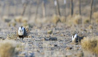 FILE- In this April 26, 2013, file photo, male sage grouse inflate their chests and make their unique noises in the desert near Millican, Ore. The U.S. Bureau of Land Management on Friday, April 3, 2020, released a final environmental impact statement for the Tri-State Fuel Breaks Project, opening a 30-day comment period. The agency says fuel breaks will help firefighters stop wildfires and protect key habitat for sage grouse and other wildlife on land also used by cattle ranchers. (Rob Kerr/The Bulletin via AP, File)