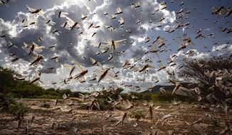 In this photo taken Tuesday, March 31, 2020, a swarm of desert locusts flies in Kipsing, near Oldonyiro, in Isiolo county, Kenya. Weeks before the coronavirus spread through much of the world, parts of Africa were already threatened by another kind of plague, the biggest locust outbreak some countries had seen in 70 years, and now the second wave of the voracious insects, some 20 times the size of the first, is arriving. (Sven Torfinn/FAO via AP) MANDATORY CREDIT