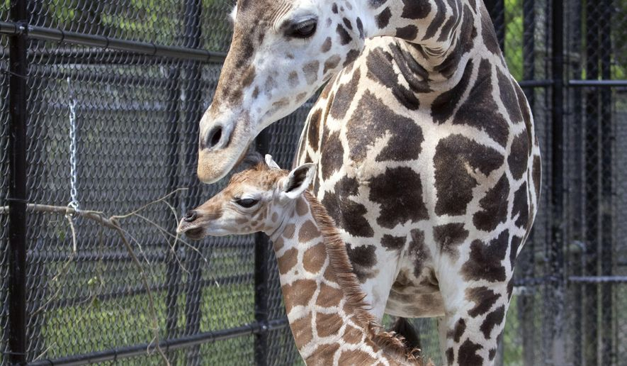 This Monday, April 6, 2020 photo provided by the Audubon Nature Institute shows Hope, a baby giraffe and her mother Sue Ellen at Freeport-McMoRan Audubon Species Survival Center in New Orleans. The Audubon Nature Institute in New Orleans welcomed a new resident, a baby giraffe named Hope. Sue Ellen, a middle-aged giraffe at the Freeport-McMoRan Audubon Species Survival Center, gave birth Monday, April 6, 2020 according to a news release. (Jonathan Vogel/Audubon Nature Institute via AP)