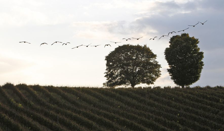 FILE - In this Oct. 4, 2011, file photo, a flock of geese fly over vines at the Trump Vineyard in Charlottesville, Va. President Donald Trump's Virginia vineyard could be eligible for a federal bailout under the $2.2 trillion coronavirus stimulus he signed into law last month. (AP Photo/Steve Helber, File)