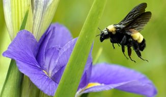 A bee takes off from a flower Monday, April 20, 2020, at Sheldon Lake State Park and Environmental Learning Center in Houston. Texas Gov. Greg Abbott has ordered state parks to reopen Monday after being closed due to the COVID-19 outbreak. (AP Photo/David J. Phillip)