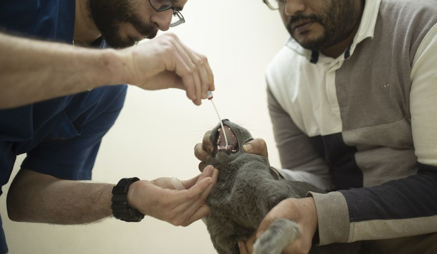 In this March 29, 2020, file photo, a veterinarian tests an Egyptian cat for the coronavirus, a requirement for travel, at a clinic in Cairo, Egypt. (AP Photo/Maya Alleruzzo)