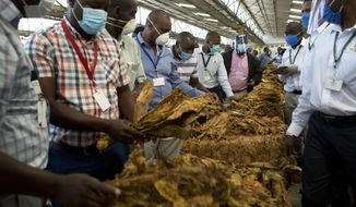 Tobacco auctioneers wear face masks to protect against coronavirus while inspecting crop on the first day of the tobacco marketing season in Harare, Zimbabwe, Wednesday, April 29, 2020. The tobacco selling season began across the country with auction floors complying with strict Covid-19 measures which included setting up clinics and isolation sites. (AP Photo/Tsvangirayi Mukwazhi)