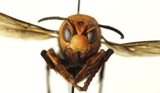 """In this Dec. 30, 2019, photo provided by the Washington State Department of Agriculture, a dead Asian giant hornet is photographed in a lab in Olympia, Wash. The world's largest hornet, a 2-inch long killer with an appetite for honey bees, has been found in Washington state and entomologists are making plans to wipe it out. Dubbed the """"Murder Hornet"""" by some, the Asian giant hornet has a sting that could be fatal to some humans. It is just now starting to emerge from hibernation. (Quinlyn Baine/Washington State Department of Agriculture via AP)"""