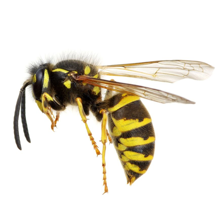 A wasp, in mid-air, is shown in this stock photo. (SHUTTERSTOCK)