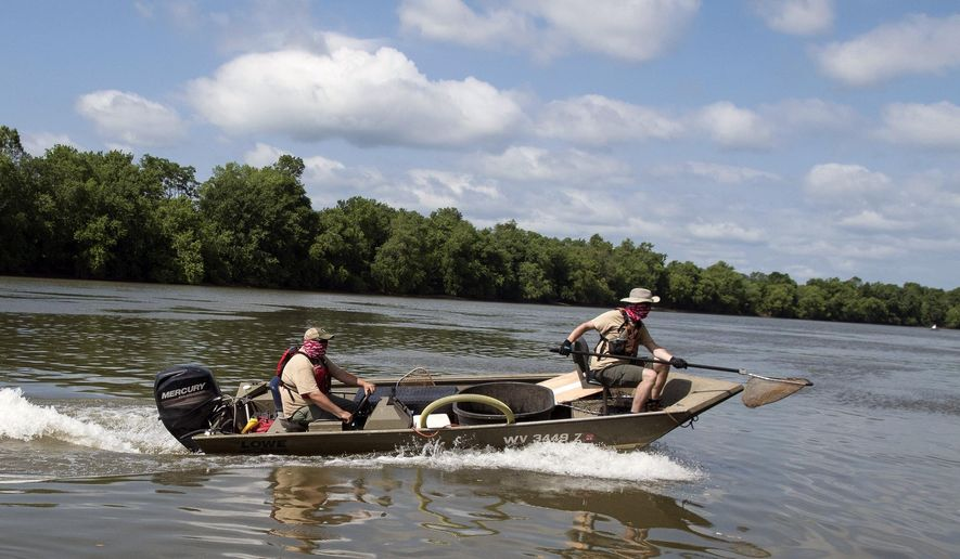To capture catfish forced to the surface by a low-frequency electric current, researchers in a fast chase boat swoop in with dip nets to scoop them up before they get away, Wednesday, June 10, 2020 near Leon, W.Va. (John McCoy/Charleston Gazette-Mail via AP)