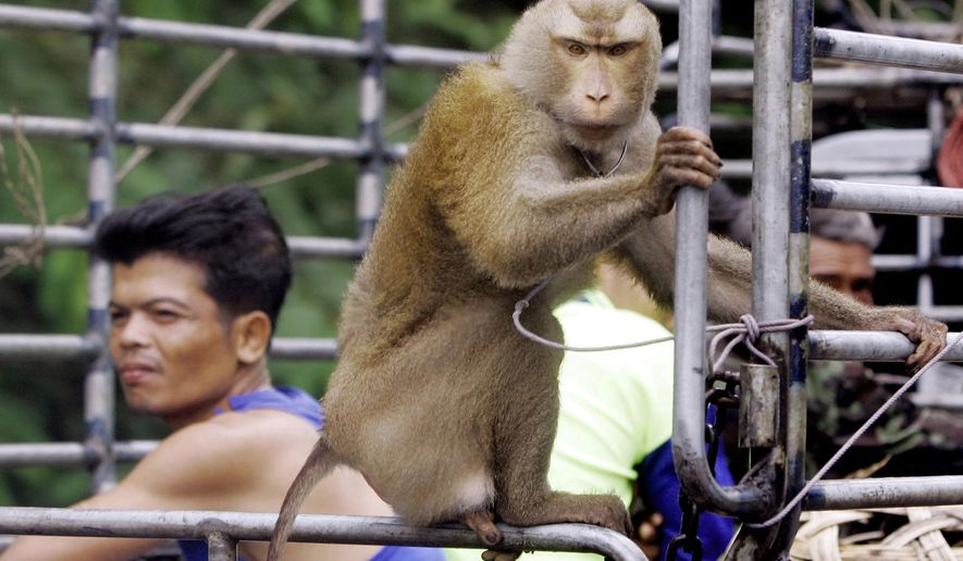 FILE - In this Friday, Nov. 3, 2006. file photo, a working monkey rides on the back of a pickup truck with its owner and other workers to collect coconuts on a plantation in Chumphon province, southern Thailand. Thailand's coconut-picking monkeys, long a popular tourist attraction, have become a sensitive trade issue as British activists claim the animals are abused and push for a boycott of the nation's coconut products. (AP Photo/Apichart Weerawong)