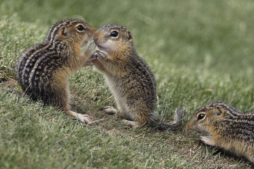 In this June 18, 2017, file photo, chipmunks congregate near the ninth hole during the fourth round of the U.S. Open golf tournament at Erin Hills in Erin, Wis. There has been a spike in New England's chipmunk population during the summer of 2020. (AP Photo/David J. Phillip, File)  **FILE**