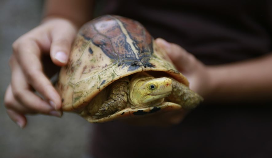 FILE - In this Aug 25, 2019, file photo, a conservationist holds up a Central Vietnamese flowerback box turtle (Bourret's box turtle) at a sanctuary in Cuc Phuong national park in Ninh Binh province, Vietnam. Vietnamese Prime Minister Nguyen Xuan Phuc on Thursday signed a directive to ban wildlife imports and closes illegal wildlife markets as a response to the thread of zoonotic diseases such as COVID-19. (AP Photo/Hau Dinh, File)