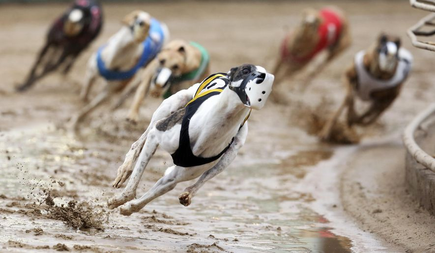 FILE - In this May 17, 2020, file photo, Greyhounds compete in a race at Iowa Greyhound Park in Dubuque, Iowa. U.S. Reps. Tony Cardenas, D-California., and Steve Cohen, D-Tennessee, have introduced legislation Wednesday, July 29, 2020, that would ban greyhound racing in the U.S. The bill comes after a group that has fought against dog racing said it has videos showing racing greyhounds being trained with live rabbits in at least three Midwestern states. (Nicki Kohl/Telegraph Herald via AP, File)